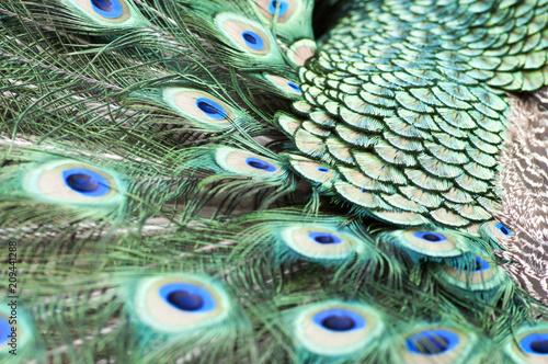 Aluminium Pauw Indian peacock tail closeup