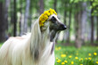 Dog breed dog Afghan Hound  staning on the lawn in a wreath from dandelions