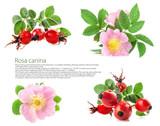 Rose hips (Rosa canina) blossom isolated on white background - 209447835