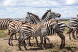 herd of zebra during the migration season in the Serengeti national Park in Tanzania