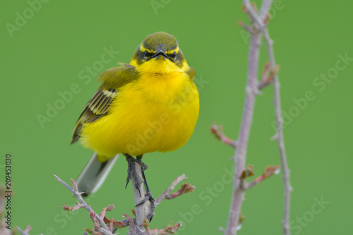 Foto Murales Yellow Wagtail in Springtime