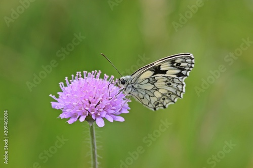 Fotobehang Vlinder Schachbrettfalter (Melanargia galathea) auf Acker-Witwenblume (Knautia arvensis)