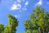 Gorgeous view of green crowns of big high trees on blue sky with white clouds background. Beautiful nature background.