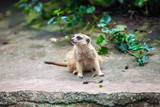 Curios meerkat (suricate) sitting on the stone and watching - 209469831