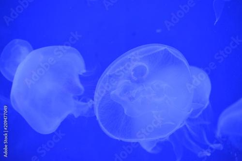 Fototapeta Jellyfish in the tank