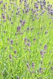 Lavender - 209479097