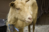 Sheep in farm - 209480468