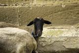 Sheep in farm - 209481024