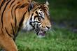 Tiger walking panting and looking