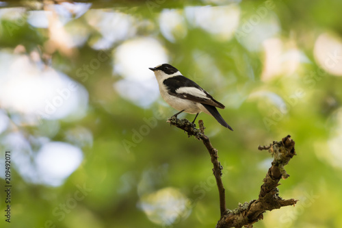 Foto Murales Male Collared Flycatcher on a twig