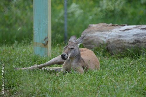 Plexiglas Kangoeroe Kangaroo in the grass