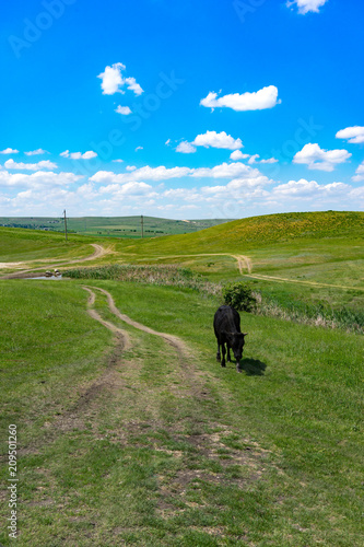 Young black bull on a green field background.