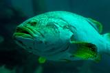 Giant grouper or Queensland grouper in aquarium tank.