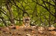 Yawing tigress