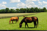 Thoroughbreds grazing on a horse farm in Kentucky - 209507421