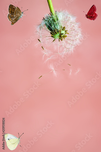 Dandelion head with ripe seeds, top view, copyspace, close-up on light background  - 209518826