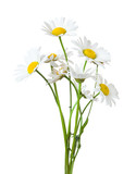 Bouquet of Chamomiles ( Ox-Eye Daisy ) isolated on a white background. - 209519075