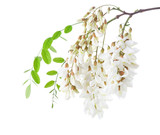 Blossoming branch of Acacia isolated on white background. Black Locust - 209519094