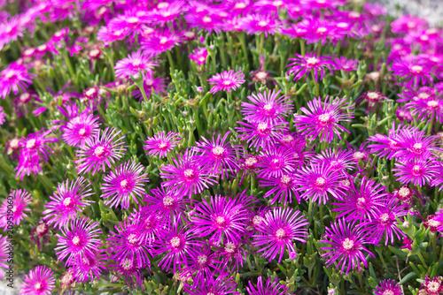 Leinwanddruck Bild Pinkfarbenes Blumenmeer