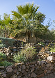 a fan palm sits at the top of beautiful rock terraces in the botanical garden in eilat in israel - 209523042