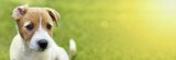 Web banner of a curious Jack Russell Terrier puppy dog with funny ears - 209523606