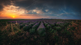 Lavender field at sunset - 209524634
