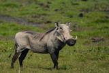 Male common warthog in Bwabwata National Park - 209526254