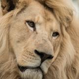 Beautiful close up portrait of white Barbary Atlas Lion Panthera Leo - 209528295