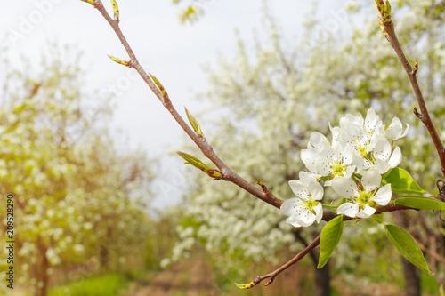 Fotobehang Kersen Cherry blossoms over blurred nature background