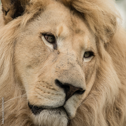 Beautiful close up portrait of white Barbary Atlas Lion Panthera Leo