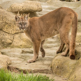 Stunning image of Puma Concolor among rocks in colorful landscape - 209528617