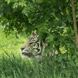 Beautiful portrait image of hybrid white tiger Panthera Tigris in vibrant landscape and foliage - 209528845