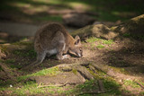 Wallaby wildlife Diprotodontia Macropoidae in sunlgiht in woodland with yound joey in pouch - 209529829