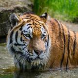 Portrait of Siberian Amur tiger Panthera Tigris Tigris in Summer - 209530215