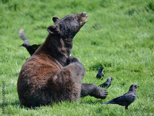 Foto Murales American Black Bear Ursus Americanus in forest clearing landscape setting