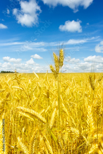 Fotobehang Oranje Macro Gold fields Wheat panorama with blue sky and clouds, rural countryside