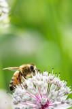 Honey bee on Great masterwort (Astrantia major) flower. - 209541619