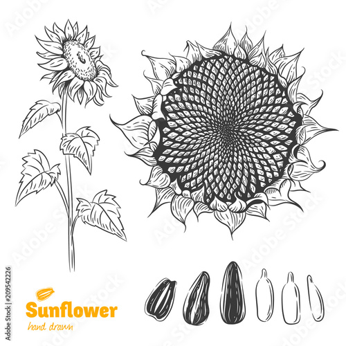 Fototapeta Sunflower hand drawn illustration