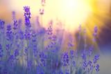Lavender field, Blooming violet fragrant lavender flowers. Growing lavender swaying on wind over sunset sky, harvest, perfume ingredient, aromatherapy - 209546036