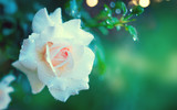 Beautiful white rose blooming in summer garden. White roses flowers growing outdoors. Nature, blossoming flower art design - 209546081