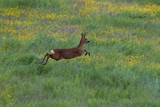 Roe deer, capreolus capreolus, in a filed full of yellow flowers, standing and running, cairngorms national park, scotland. - 209546819