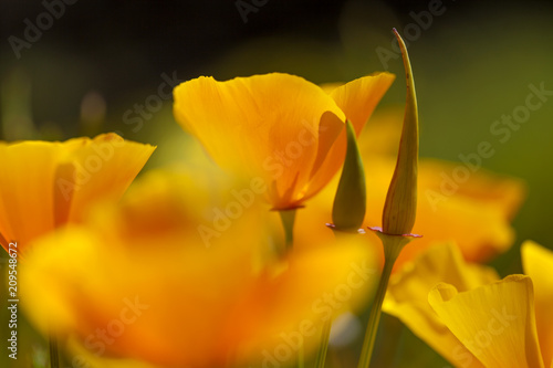 Foto Murales Flora of Gran Canaria - California poppy