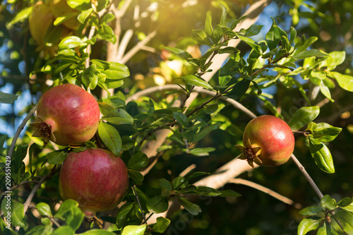three red garnets on a branch with green leaves, grow on a tree, selective focusing, sun rays