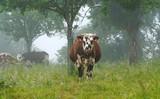 Animal ferme vache 224