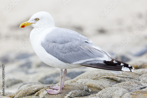 Fotobehang Noordzee Seagull At North Sea
