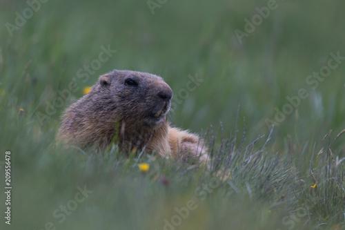 Foto Murales Marmotta (Marmota)