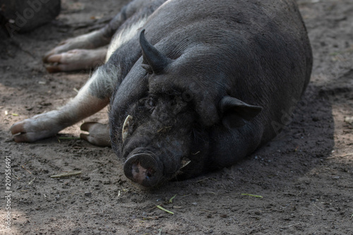 Naklejka Vietnamesisches Hängebauchschwein