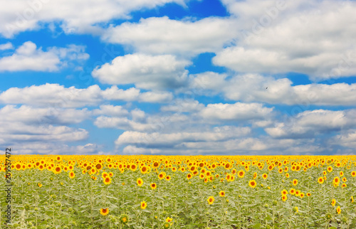 Fotobehang Meloen Summer landscape with a field of blooming sunflowers and a blue sky with beautiful clouds