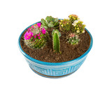 various cactus flowers in a blue pot - 209559841