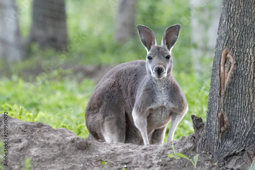 Fotobehang Kangoeroe Wild grey kangaroo resting. Young cute wild grey kangaroo sitting and looking on the grass